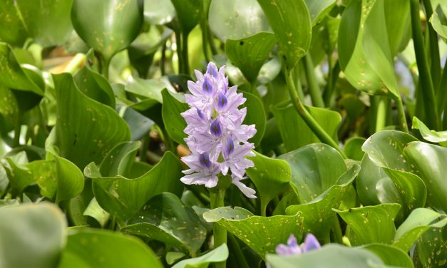 Water hyacinth as a source of  alternative energy