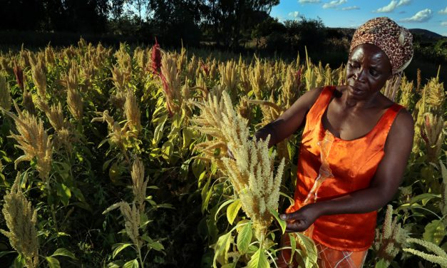 Promoting Zimbabwe's underutilised superfoods;  improving rural livelihoods
